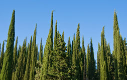 Cypress Royalty Free Stock Photography