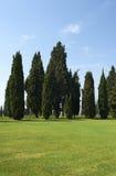 Cypress Royalty Free Stock Photo