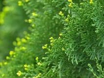 Cypress immagine stock libera da diritti