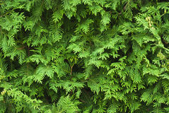 Cypress Arkivfoto