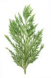 Cypress Immagini Stock Libere da Diritti