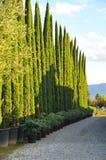 Cypress Fotografía de archivo