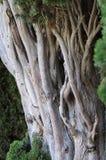 cypress Fotografering för Bildbyråer