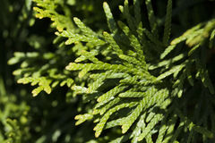 cypress Foto de Stock