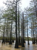 cypress Royaltyfria Bilder