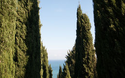 Cypress alley on a background of the sea.  Royalty Free Stock Images