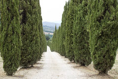 Cypress alley in Tuscany Royalty Free Stock Images