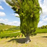 Cypress alley between vineyards in Tuscany Stock Images