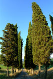 Cypress avenue. Along a countryside highway with blue sky Stock Photography
