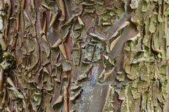 Cypress bark Stock Photography