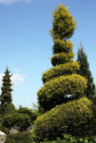 Cypress beautifully designed in a spiral Royalty Free Stock Image