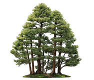 Cypress Bonsai Tree Royalty Free Stock Image