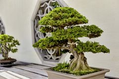 Cypress Bonsai Royalty Free Stock Photography