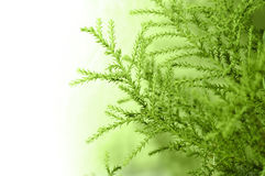 Cypress branch royalty free stock images
