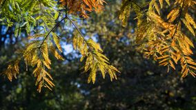 Cypress branch in autumn Royalty Free Stock Image