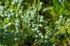 Cypress branch cedar is an evergreen coniferous tree. royalty free stock photos