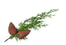 Cypress branch. With cone on white Stock Photos