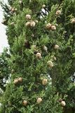 Cypress branch with cones Stock Photography