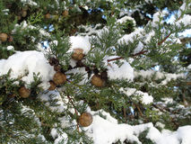Cypress branch covered with snow. Cypress branch with cones under snow Stock Photography