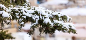 Cypress branch covered with snow at winter time. Blurred background, close up view with details Royalty Free Stock Images