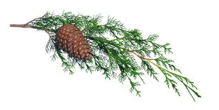 Cypress branch. With cone on white Royalty Free Stock Images