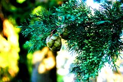 Cypress branch with green cones royalty free stock image