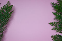 Cypress branch on pink background. Green cypress branch on pink background royalty free stock image