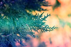 Background with branches arborvitae thuja evergreen tree cypres Stock Images