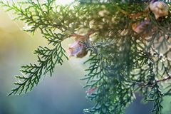 Background with branches arborvitae thuja evergreen tree cypress Royalty Free Stock Images