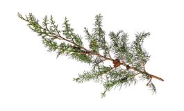 Cypress branch Stock Image