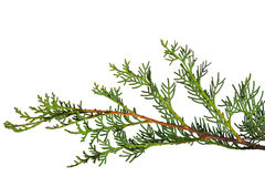 Cypress branch Stock Photography