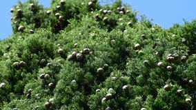 Cypress branches with cones against the sky stock video footage