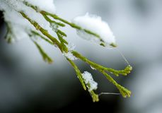 Cypress branches under snow. Twig thuja with cones under the snow Royalty Free Stock Image