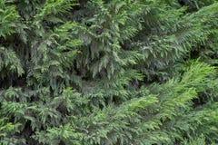 Cypress bush green background. Thuja tree stock photography