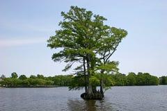 Cypress calvo Immagine Stock Libera da Diritti