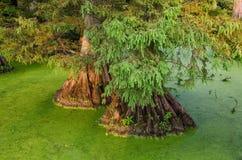 Cypress calvo in acque tranquille, lago Reelfoot nel Tennessee Fotografie Stock Libere da Diritti
