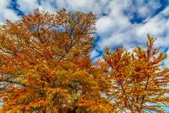Hojas anaranjadas brillantes de Cypress que brillan intensamente en la caída Sun Imagenes de archivo