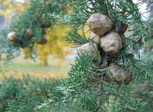 Cypress cedar tree with cones. stock photography