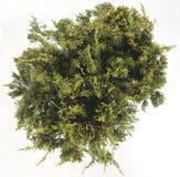 Cypress Royalty Free Stock Photos