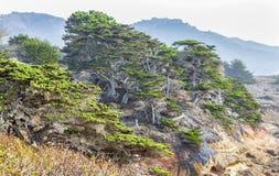 Cypress Coastal Scrub at Point Lobos Royalty Free Stock Image