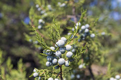 Cypress cones of a  juniper. Royalty Free Stock Photography