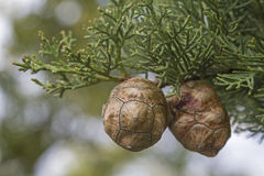 Cypress cones on tree Royalty Free Stock Images