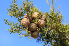 Cypress cones on a tree. Under blue sky Stock Photo
