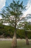 Cypress cresce no lago Sukko, região de Krasnodar, Rússia Foto da árvore no ambiente natural fotos de stock