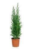 Cypress dans le bac. images stock