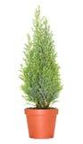 Cypress dans le pot Images libres de droits