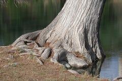 Cypress de inclinação Foto de Stock Royalty Free