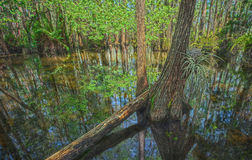 Cypress Dome in Everglades. Image take inside a Cypress Dome, Everglades, Florida stock photo