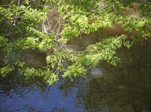 Cypress e cielo Fotografia Stock Libera da Diritti