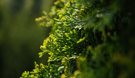 Cypress evegreen branch Stock Photo